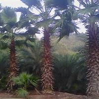 老人葵【华棕】,常年供应工程绿化苗木