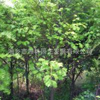 大量供应园林苗木红豆杉苗  品种齐全