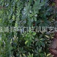 各种规格工程绿化苗鹅掌柴(鸭脚木)