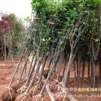 我公司长期批量供应西府海棠  可做风景树 可观花、果
