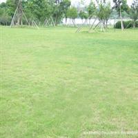供应各类优质、低价草坪 马尼拉草