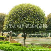 桂花树 精品桂花树10-12
