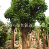 樟树 精品香樟10-12