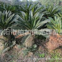 湖南柏加光辉苗圃长期供应:棕榈 苏铁 散尾葵 优良品种