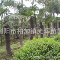 【大型棕榈】低价直销棕榈(唐棕、山棕)
