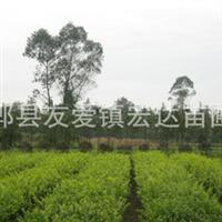 郫县宏达苗木大量出售金叶女贞 金叶女贞习性、价格
