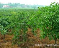 供应  批发直销 园林植物 苗木 果木 盆栽类