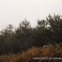 产地直销 高山 耐寒 特色 优质五针松 各类规格