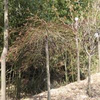 产地直销 高山 耐寒 优质 羽毛枫 细叶鸡爪槭 造型佳