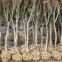 产地直销 高山 耐寒 特色 优质五针松 ,五针松,红枫,青枫