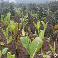 供应 农业园林植物花叶美人蕉数十万苗 重庆蕾艺园林工程花卉苗木