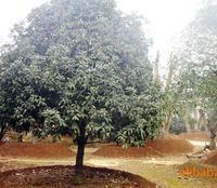 供应园林绿化苗木 10cm胸径精品桂花树
