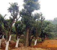 低价特供优质绿化苗木 φ25cm野生香泡