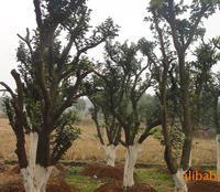 供应园林绿化苗木 20公分胸径香泡