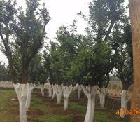 特价供应园林绿化苗木 30公分胸径香泡
