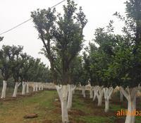 供应园林绿化苗木 φ18公分野生香泡