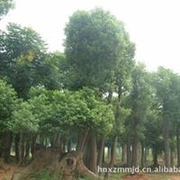 大量供应优质苗木 移栽骨架香樟
