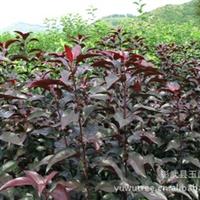 紫叶海棠 (嫁接)