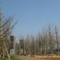 长期供应高品质银杏规格20-80公分