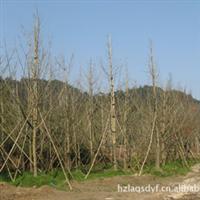 红亮苗木场银杏储备中心长期供应胸径20公分银杏