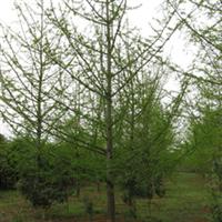 红亮苗木场银杏储备中心长期供应胸径25公分银杏