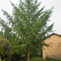 红亮苗木场银杏储备中心长期供应胸径28公分银杏
