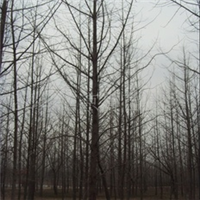 出售15公分银杏实生树