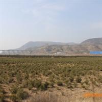 优质绿化苗木\油松定植苗30-40cm