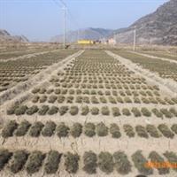 优质绿化苗木\一年生油松苗0.5-0.8cm