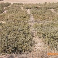 优质绿化苗木\云杉容器袋苗50-80cm