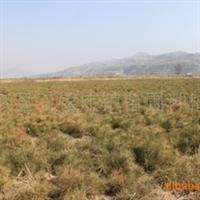 优质绿化苗木\油松容器袋苗60-80cm