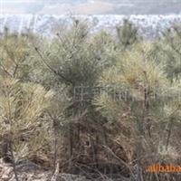 优质绿化苗木\油松定植苗60-120cm