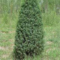 优质绿化苗木\杜松 60-120cm
