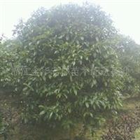 供应各种规格园林苗木四季桂,小苗,杯苗