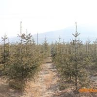 优质绿化苗木\云杉定植苗150-200cm
