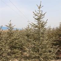 优质绿化苗木\云杉定植苗250-300cm