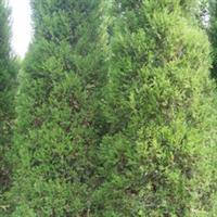 优质绿化苗木\桧柏 150-200cm
