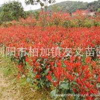 【批发供应】红叶石楠|红叶石楠幼苗