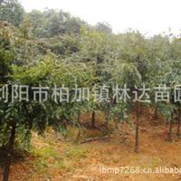 低价现货出售大量成活率高价格合理优质红豆杉