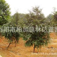 批量出售优质红豆杉 现货供应 量大价优