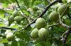 贵州远景 【名特优】【多规格】【特惠】核桃苗木销售、规划种植