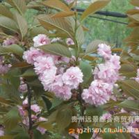 【批量供应】各种规格的优质樱花Ⅱ【量大从优】
