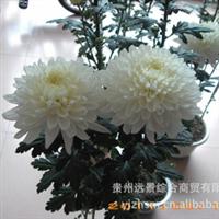 【特色】【反季节】菊花鲜切花、盆栽花、优质种苗批量供应
