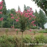 大量供应--红花紫薇