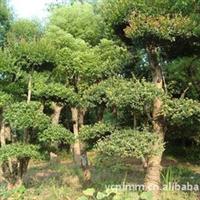 大量供应--绿化苗木,红果冬青,移栽红果冬青