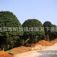 大量供应乔木   各类绿化造型丹桂树