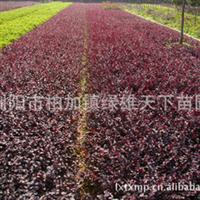 供应乔木   大量绿化工程苗红继木
