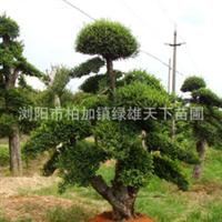 专业供应乔木   各种造型榆树   绿化工程苗木