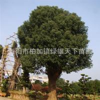 承接各类绿化工程   优质造型香樟树