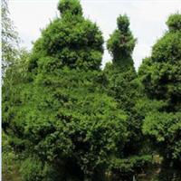 正宗河南桧柏常年出售  专业绿化苗木